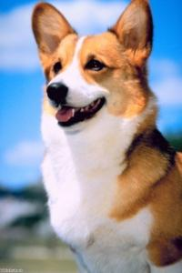 Pembroke Welsh Corgi added to Kennel Club's vulnerable breed list