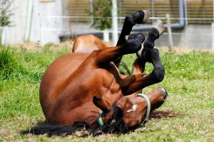 The Threat of Laminitis