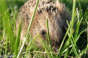 Protecting hedgehogs from your dog