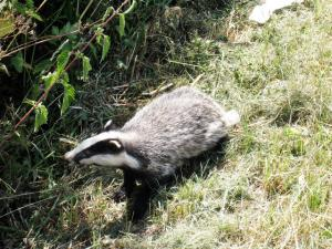 Badger culling: should it continue?