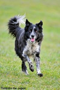 Could your dog benefit from flyball?