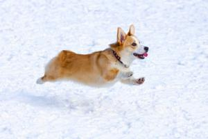 Corgis in danger of becoming a 'rare breed'