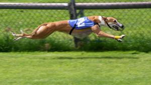 Should Greyhound racing be banned?