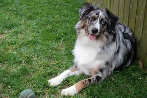 Breed Focus: The Australian Shepherd