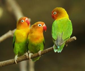 Are lovebirds endangered?