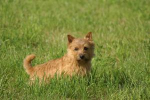 Breed Focus: The Norwich Terrier