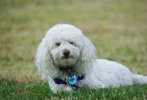 Breed Focus: The Bichon Frise