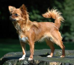 Breed Focus: The Chihuahua