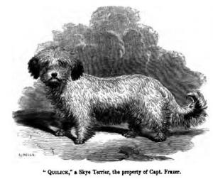 Breed Focus: The Skye Terrier