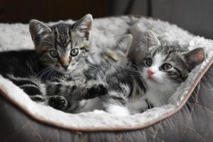 Pros & cons of neutering your kitten