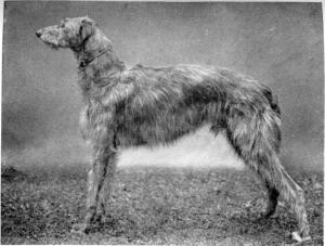 Breed Focus: The Irish Wolfhound