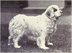 Breed Focus: The Clumber Spaniel