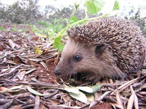 Protecting hedgehogs this November 5th!