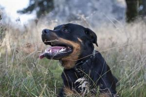 Breed Focus: The Rottweiler
