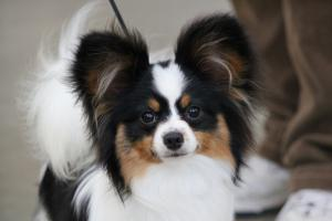 Breed Focus: The Papillon