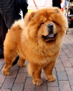 Breed Focus: The Chow Chow