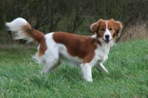Breed Focus: The Kooikerhondje
