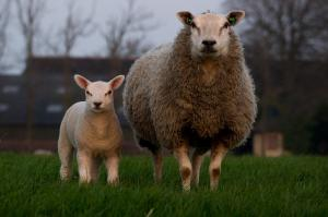 Lambing Season is here! That means keep your dog on its lead!