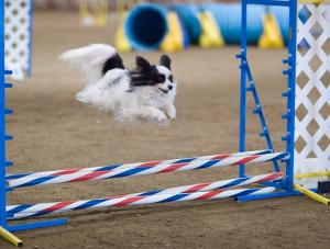 Would your dog enjoy agility?
