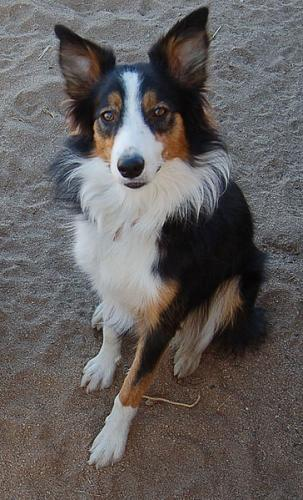 I love the Tri color border collies. The coat on this dog is