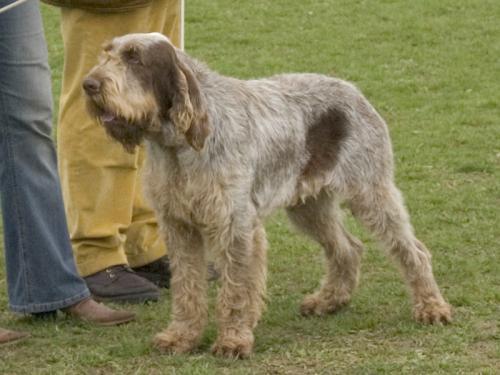 Griffon Dogs For Sale Australia