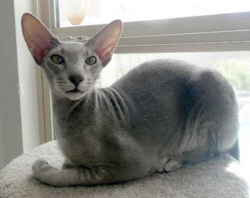 Peterbald Facts And Information Viovet