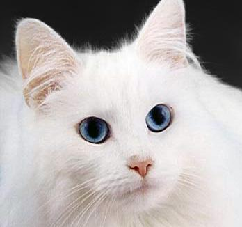 Russian Black White Or Tabby Facts And Information Viovet