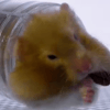 Awesome Hamsters! Image