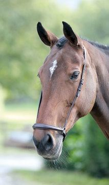 Blenheim Havana Brown Drop Noseband