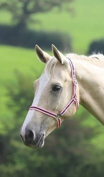 Shires Wessex Pink/Navy Headcollar