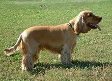 A yellow colored dog with floppy ears stands in profile. It's tongue sticks out.