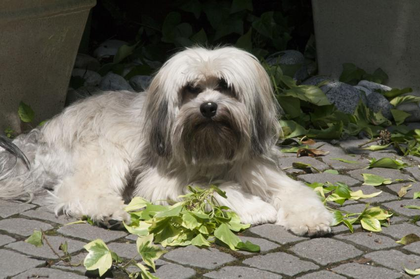 Lowchen (Little Lion Dog) - Facts and Information - VioVet